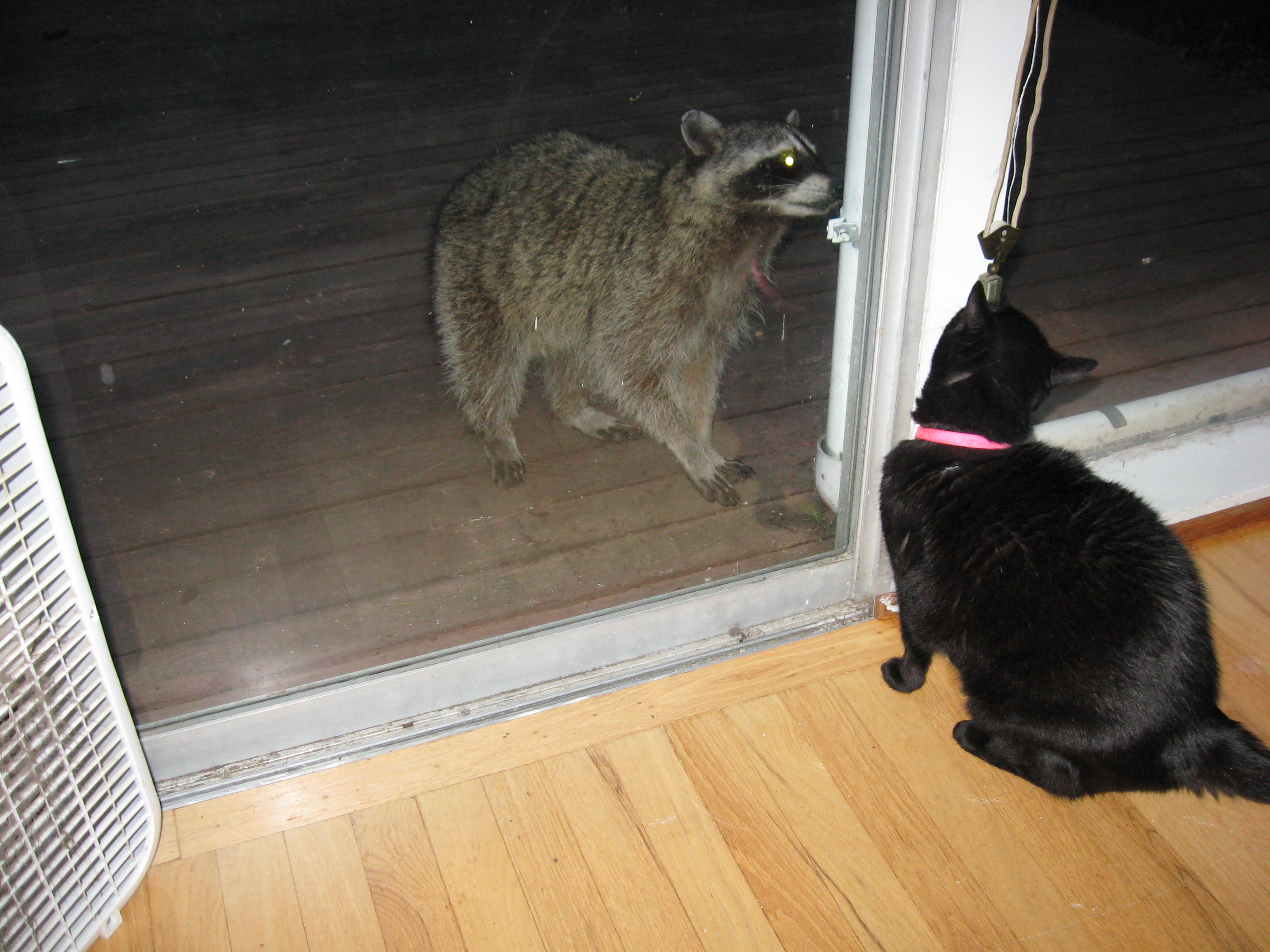 Meerclar watching a raccoon.