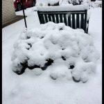 snow covered azalea
