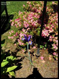 Iris and azalea