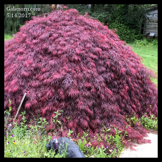 Japanese lace maple