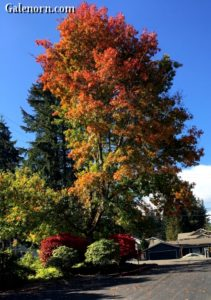 Brilliant leaves--yellow, rust, red, and green all on one tree.