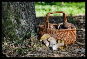 Several large fresh white mushrooms lie on the ground in the woods near a wicker basket under the mighty oak trunk