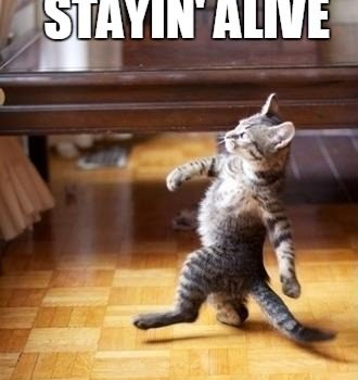 Cat on two legs, strutting along to the tune of Stayin' Alive...