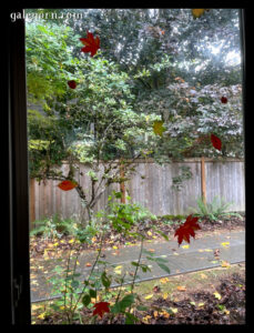autumn cling leaves on the window, looking outside